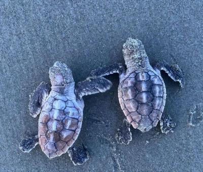 Kiawah Island sea turtles