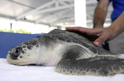 Sea turtle recovery requires some TLC