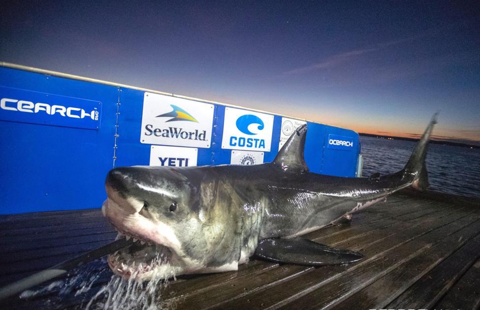 more great white sharks swim to charleston in the winter
