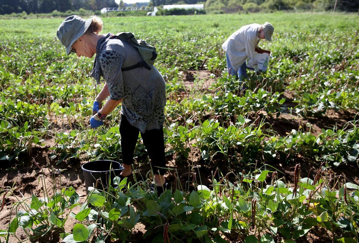 Gleaning lessons Kosher Food Pantry volunteers harvest farm fields ...