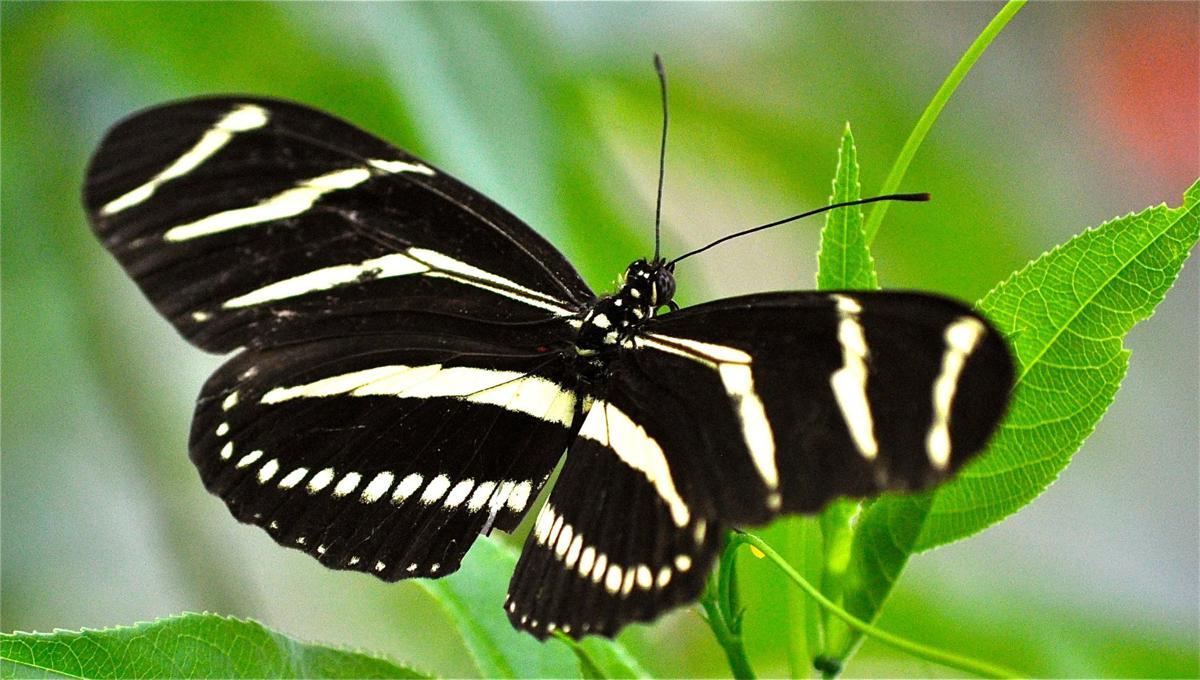 Native Plants Zebra butterfly by Quick .jpg (copy)