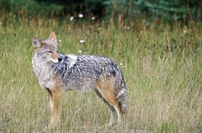 Wily coyote to force deer hunting limits? (copy) (copy) (copy) (copy)
