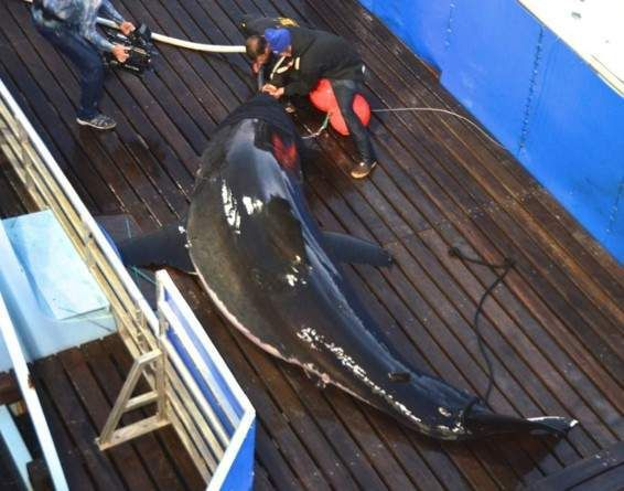 Scientists to track tiger sharks in Port Royal Sound
