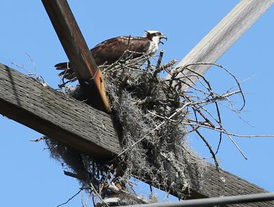 osprey nest sce&g rivertowne.jpg