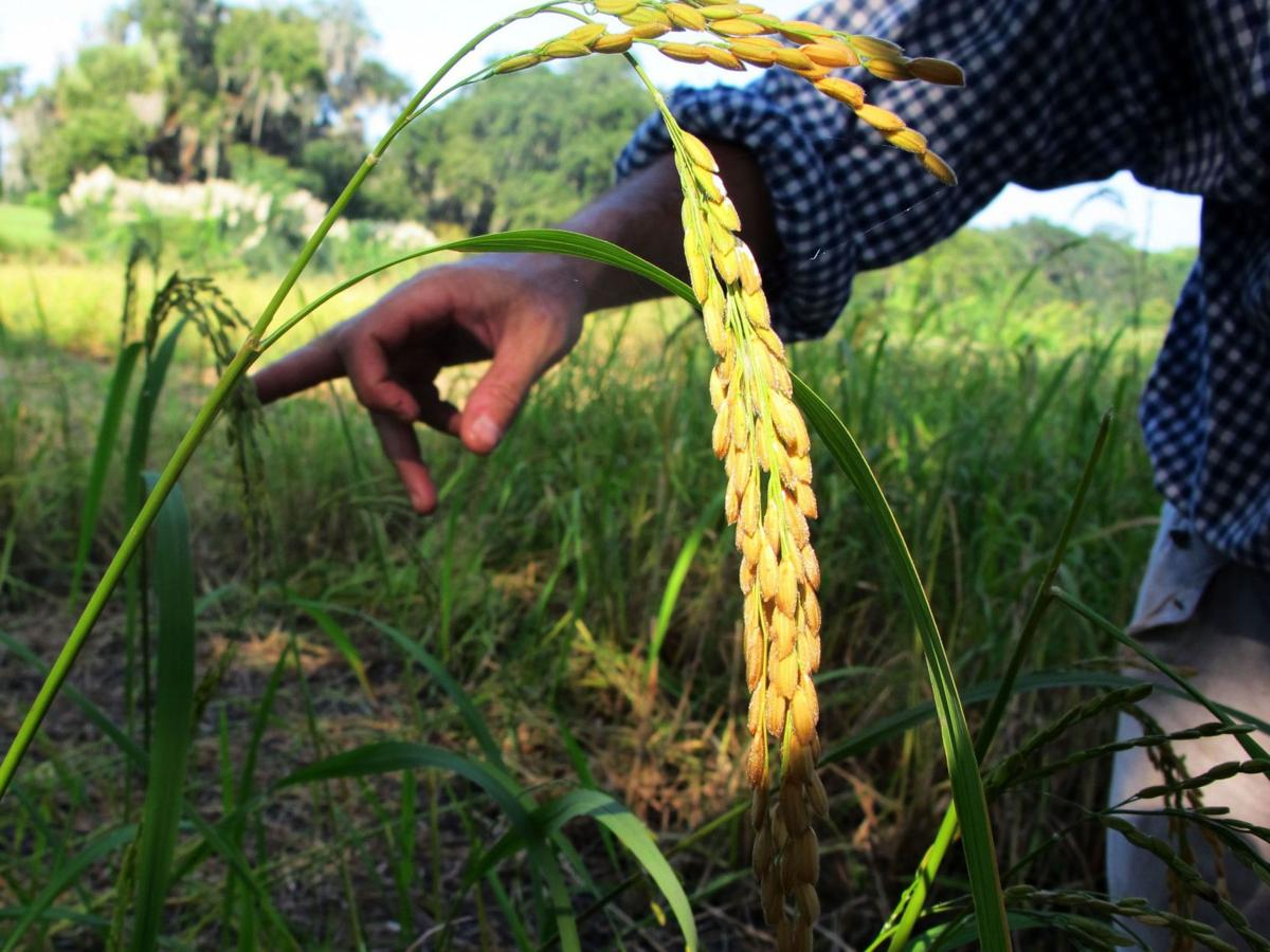 Rice lessons at Middleton Place