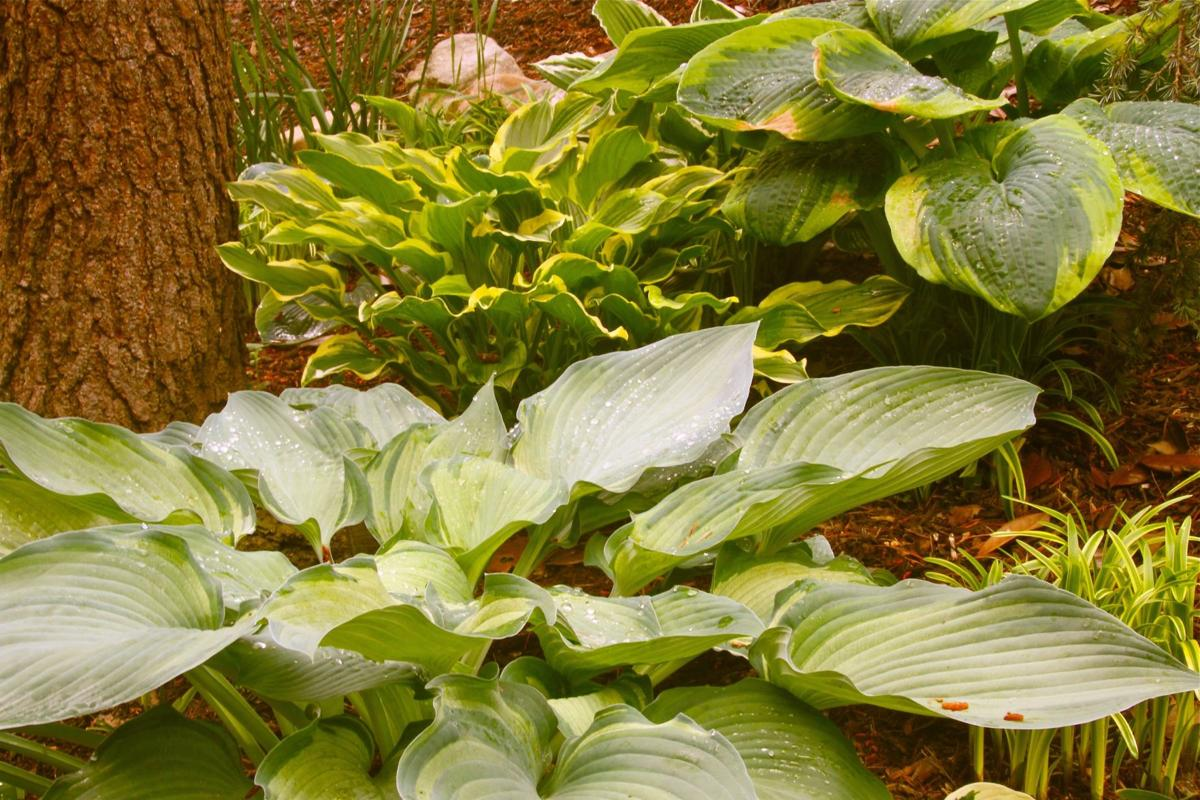 Another helping of hosta?