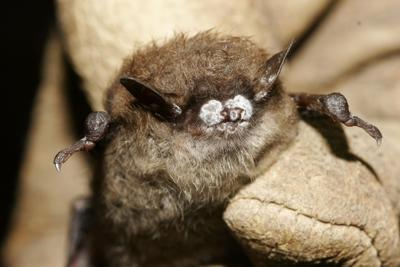 Bat disease white-nose syndrome confirmed in South Carolina