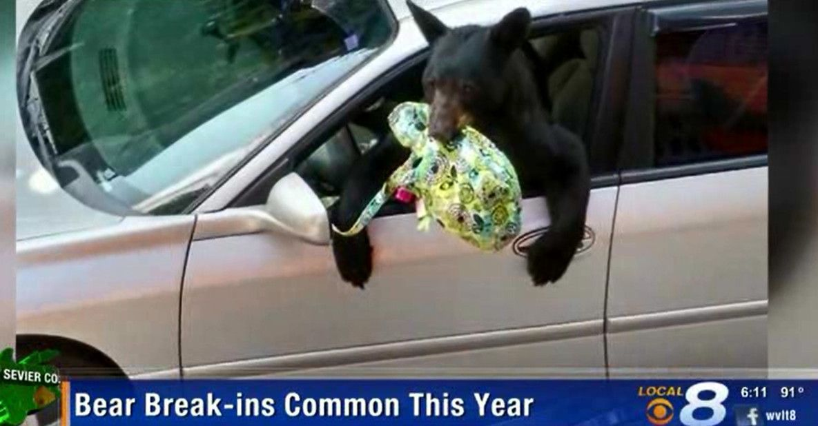 Struggling to find food, bears in Smoky Mountains setting their sights on cars