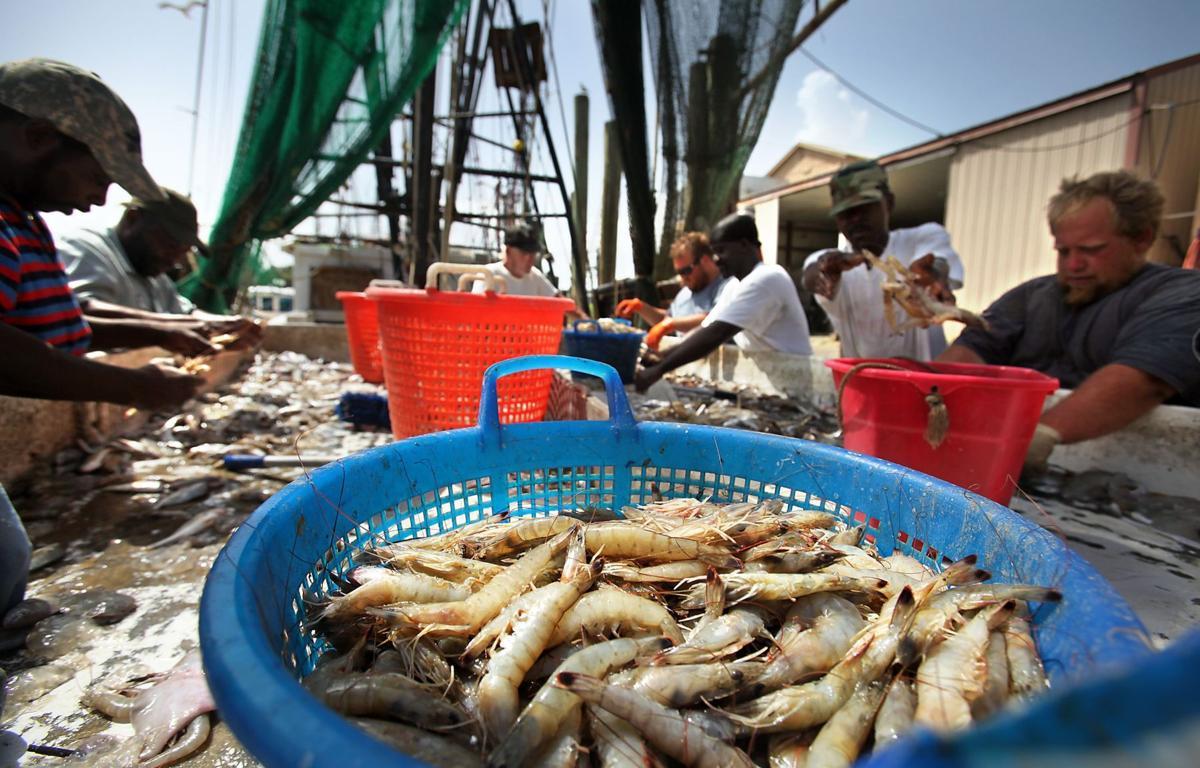 Cold harvest Winter shrimping could shut down sooner
