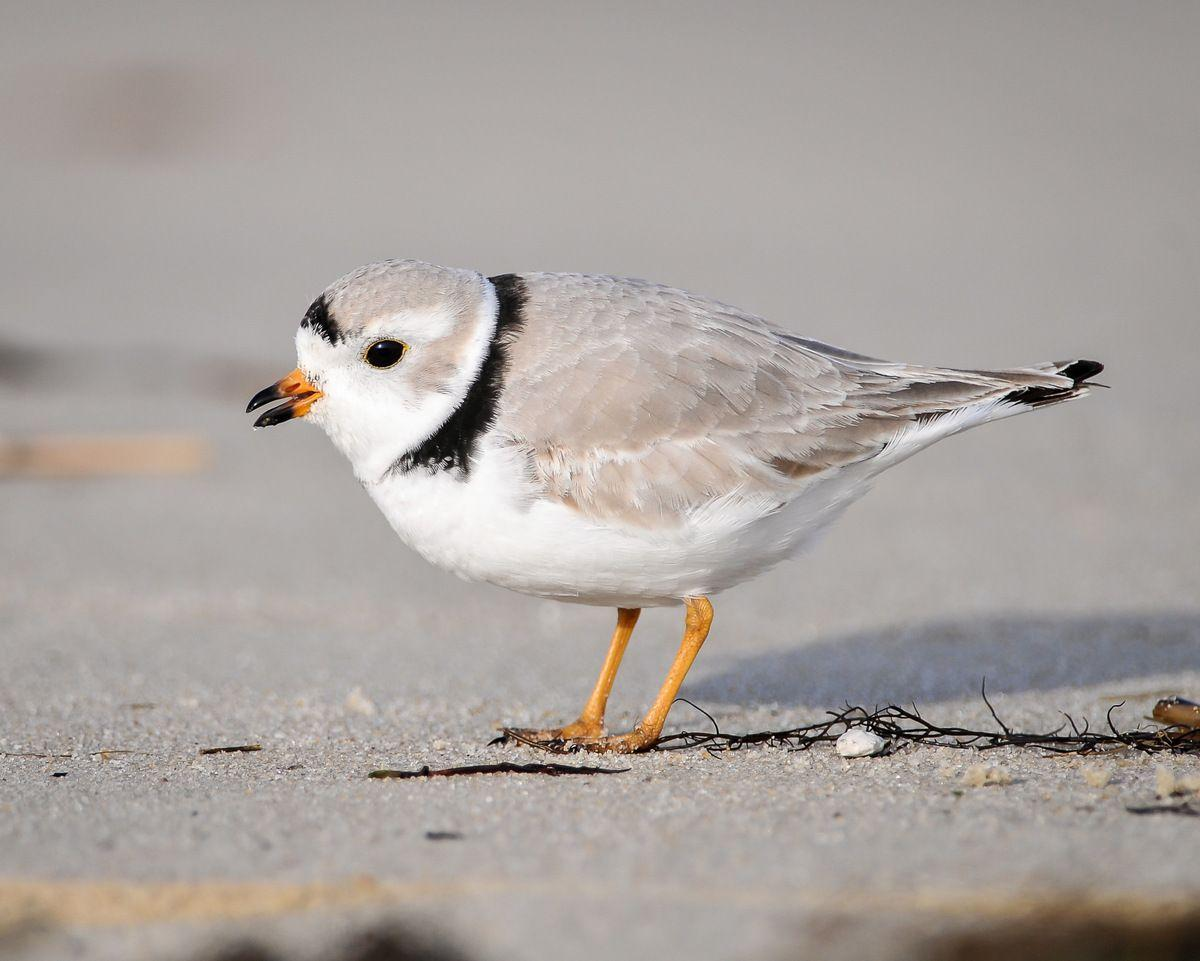 Tiny birds affect $20M beach rebuilding plan on SC coast
