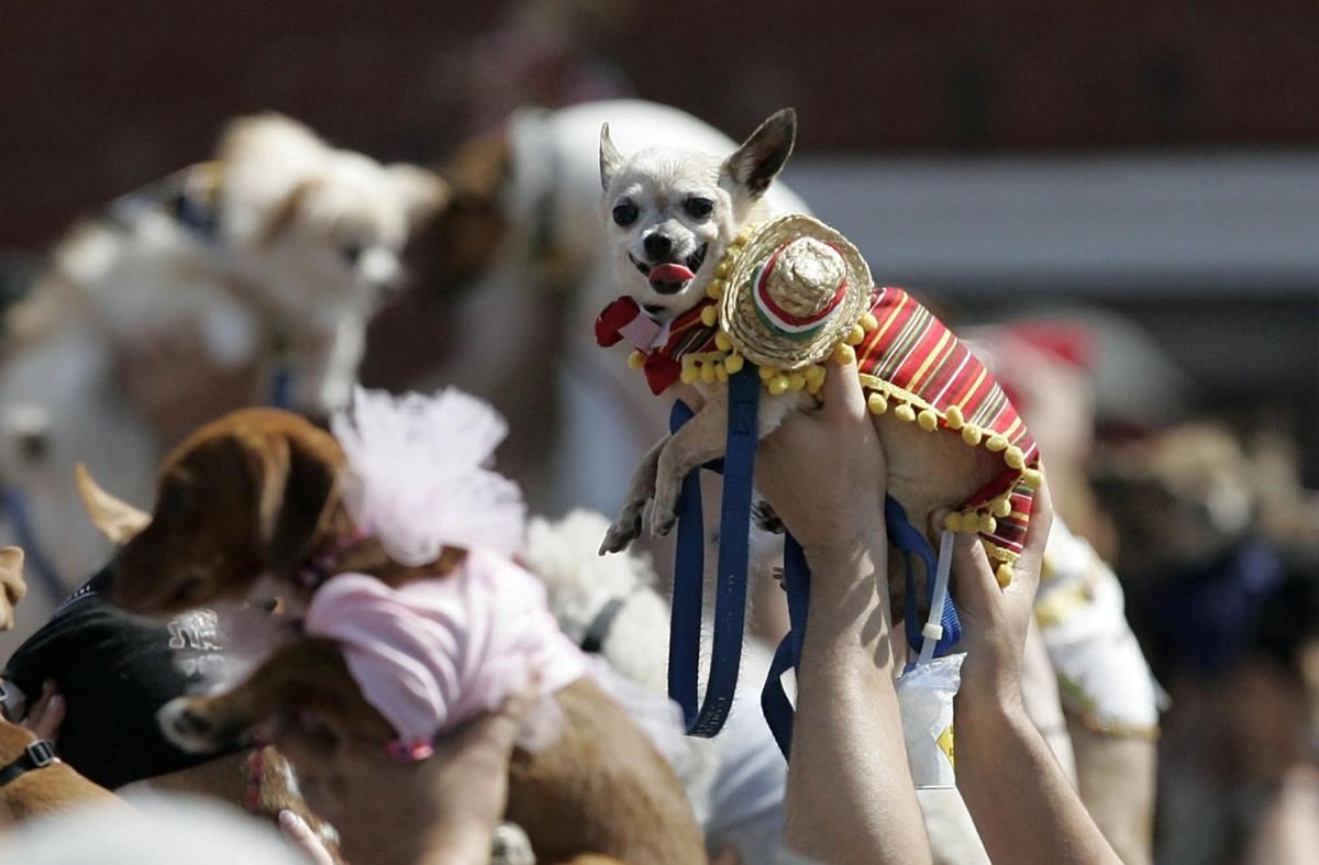 Chihuahua costume party falls short of record
