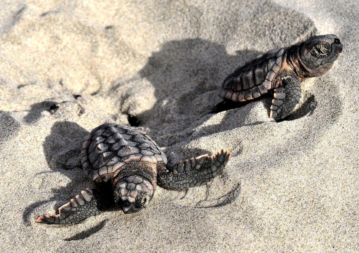 newborn sea turtles from at least nine nests on edisto beach
