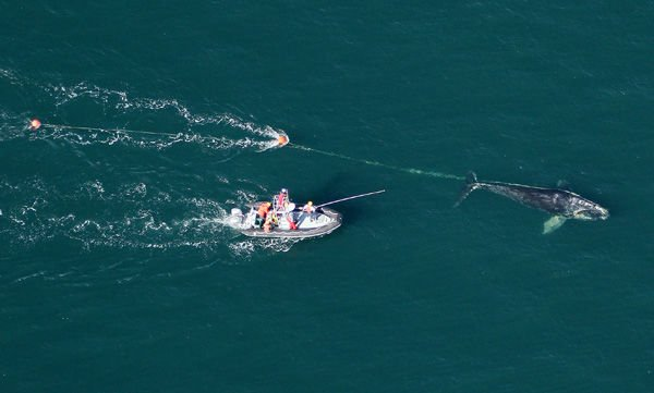 Sedatives used to free whale from fishing line