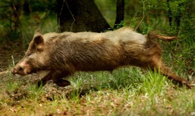 Wild Hogs invading Charleston suburbs (copy)