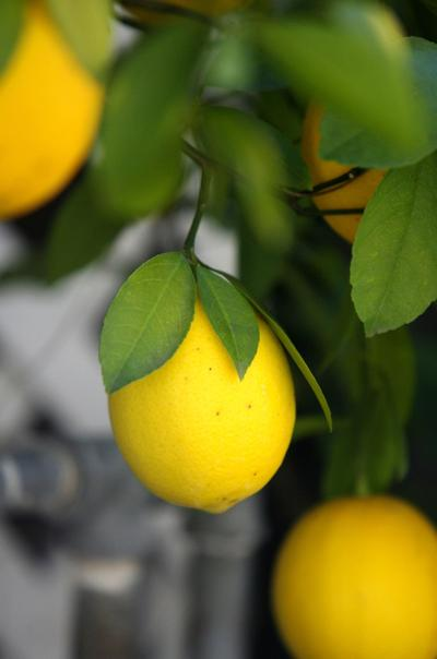 Help for citrus growers