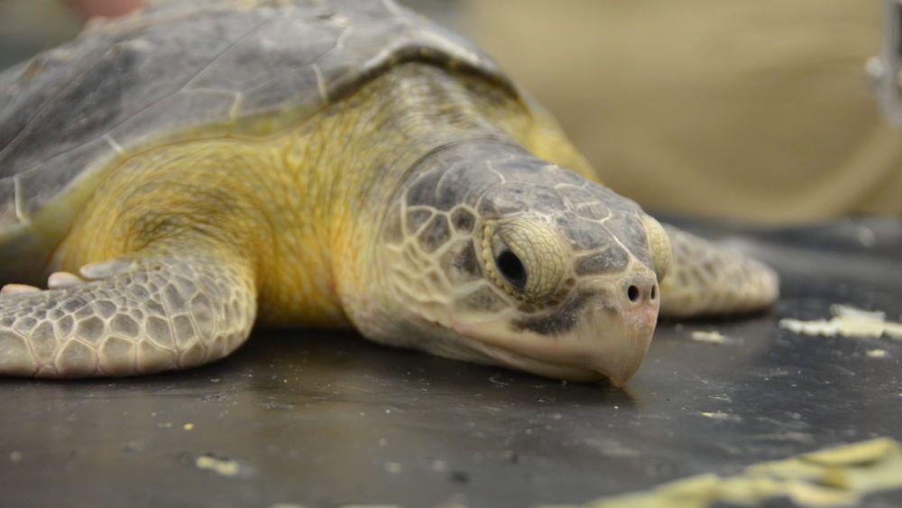 Rehabbed turtles return to sea at Folly