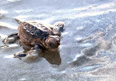 Loggerhead sea turtle hatchling heads to the water on the Isle of Palms.
