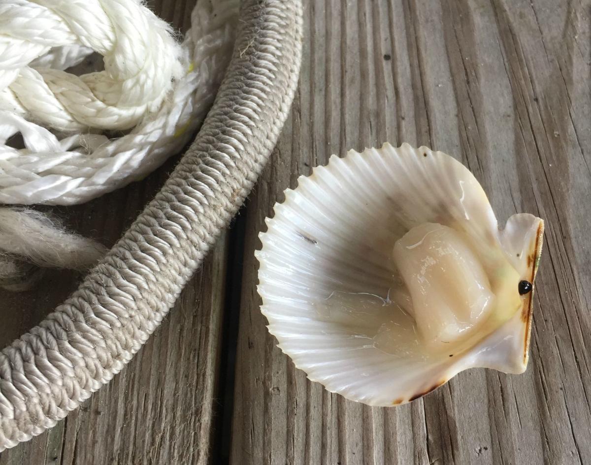 Gulf of Mexico bay scallop
