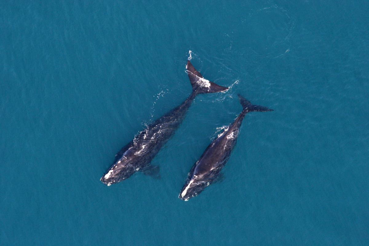 S.C. might be just right for whales