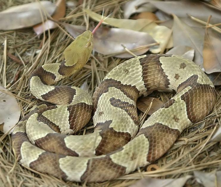 Snakes are biting at record pace in SC, but, no, they're not drought thirsty