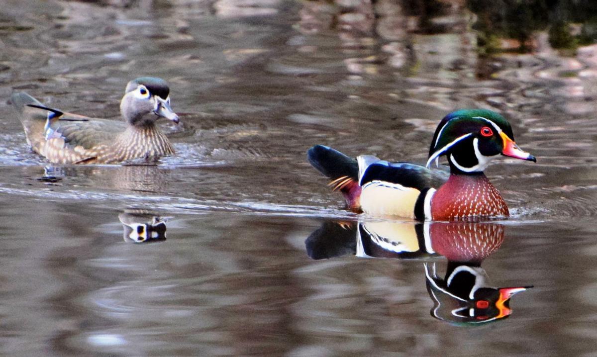 Wood duck -MSummerBest.jpg