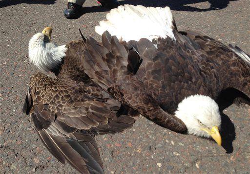 Fighting eagles crash land on Minn. airport runway