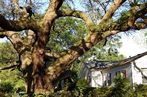 Resident going out on limb to try to save tree