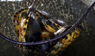 Turtle trafficker pleads guilty