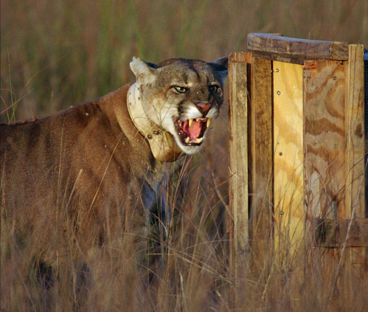 Panther is extinct, not endangered, regulators say