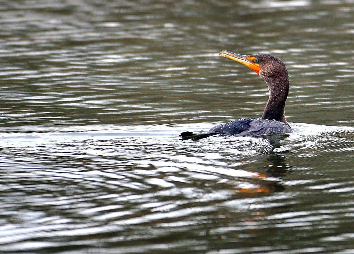 Lawsuit challenges special-permit cormorant hunt on Moultrie, Marion lakes