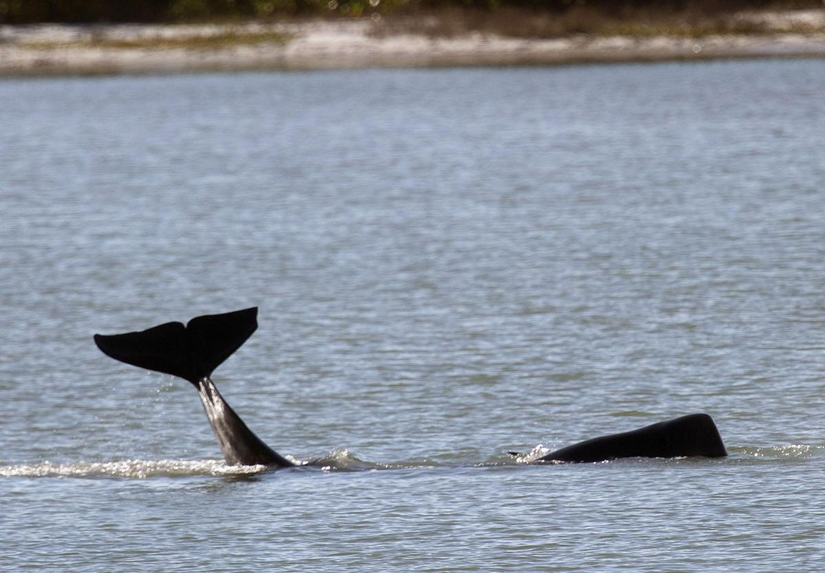8 pilot whales found dead off Florida coast