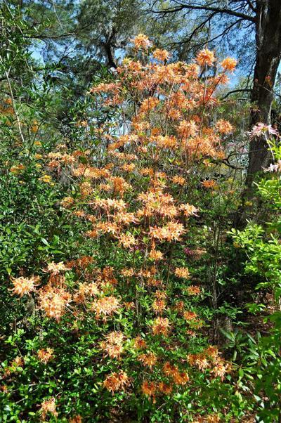 The overlooked azaleas at Magnolia