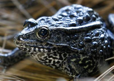 Supreme Court Endangered Frog
