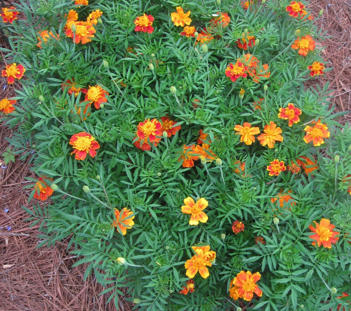 French dwarf marigolds