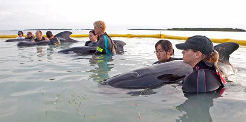 Rescuers tend to whales stranded off Florida Keys