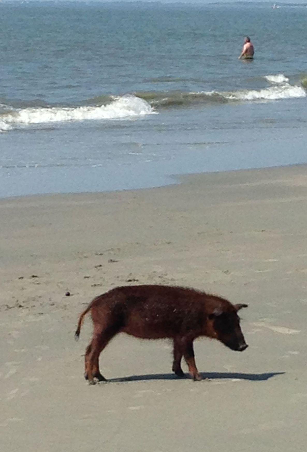 Final destination of wild pig in surf still secret