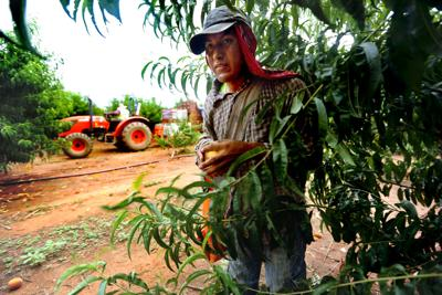 More legal Mexican farm workers are coming to SC than ever. But few are protecting them.
