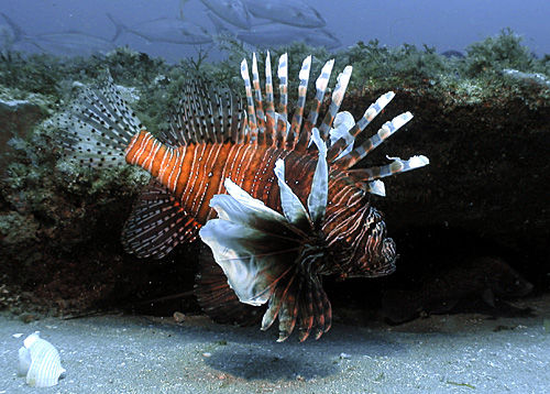 Lionfish stalker: Diver hunts an invasive menace, wants you to do same