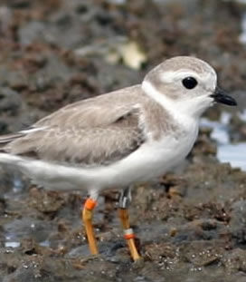 Piping Plover (copy)