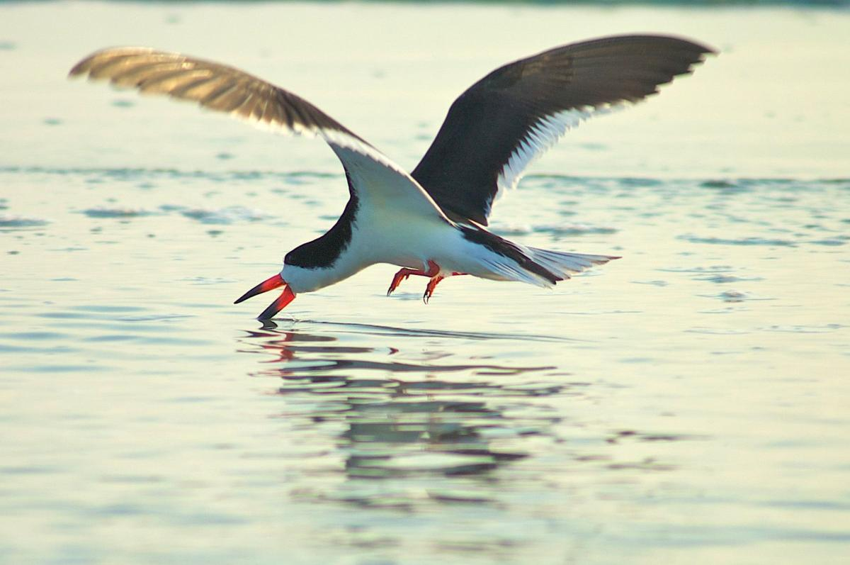 'Bird sitters' to help protect skimmer nesting grounds