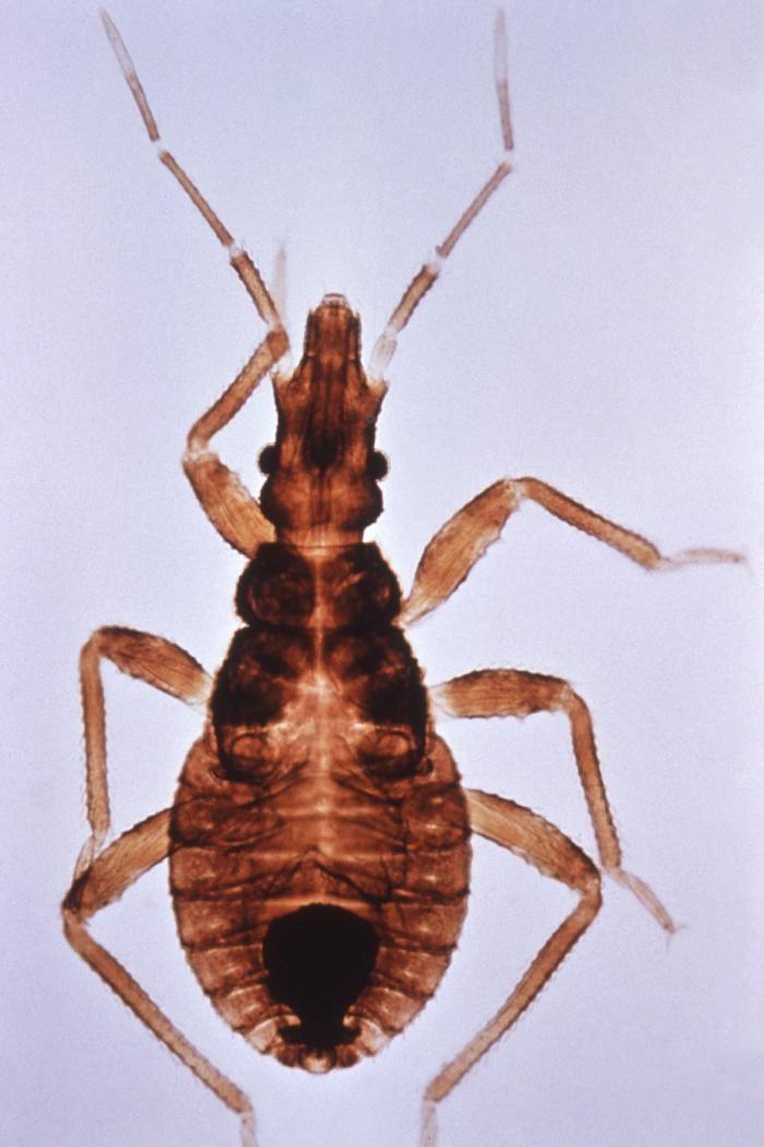 Odd new health threats: Kissing bug, armadillo
