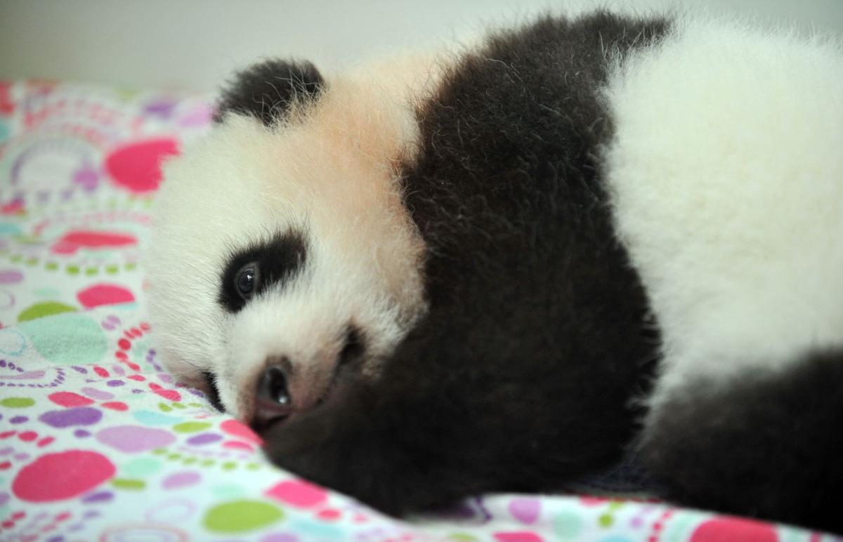 Twin giant panda cubs in Atlanta are named (has video)