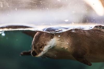 Otter at Riverbanks