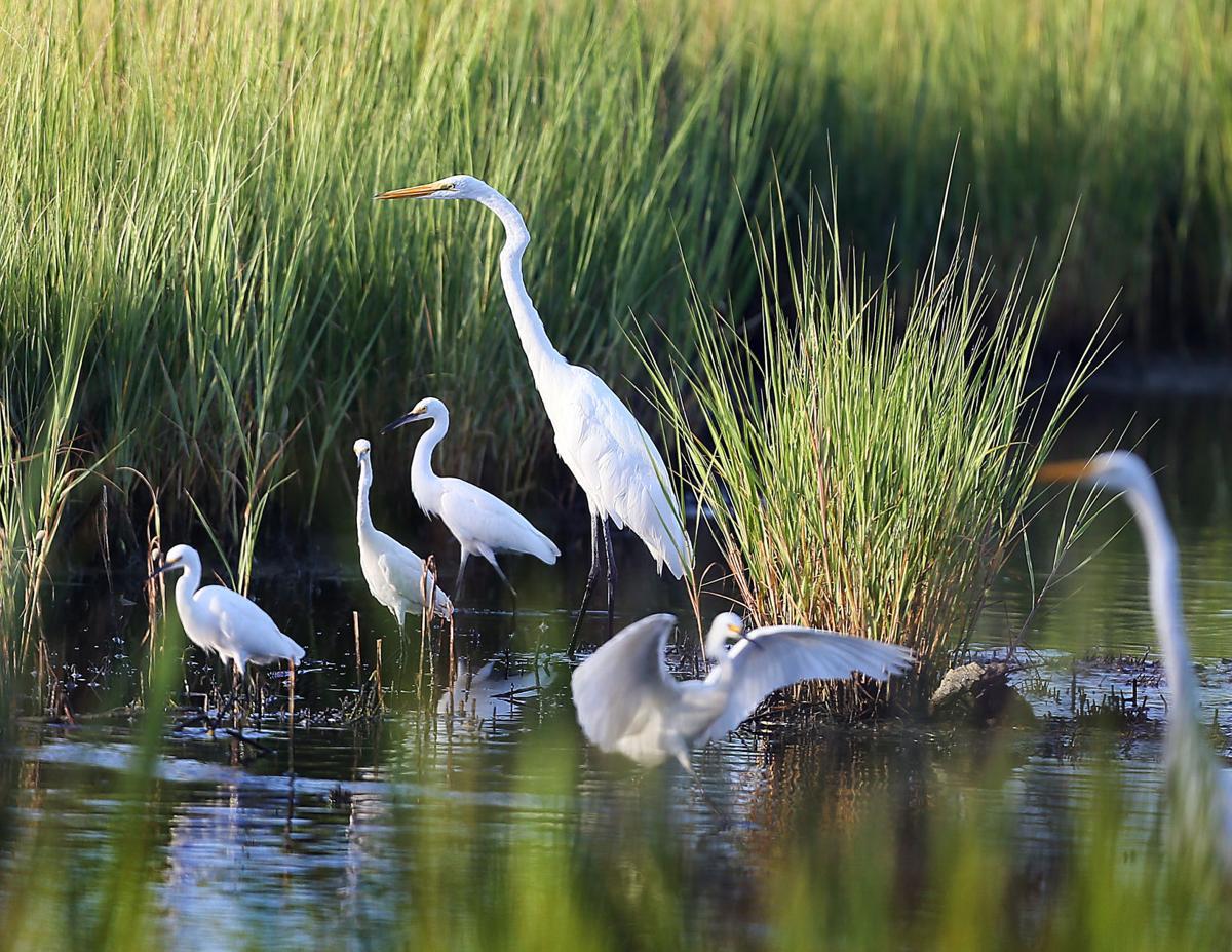 great egrets james island.jpg (copy)