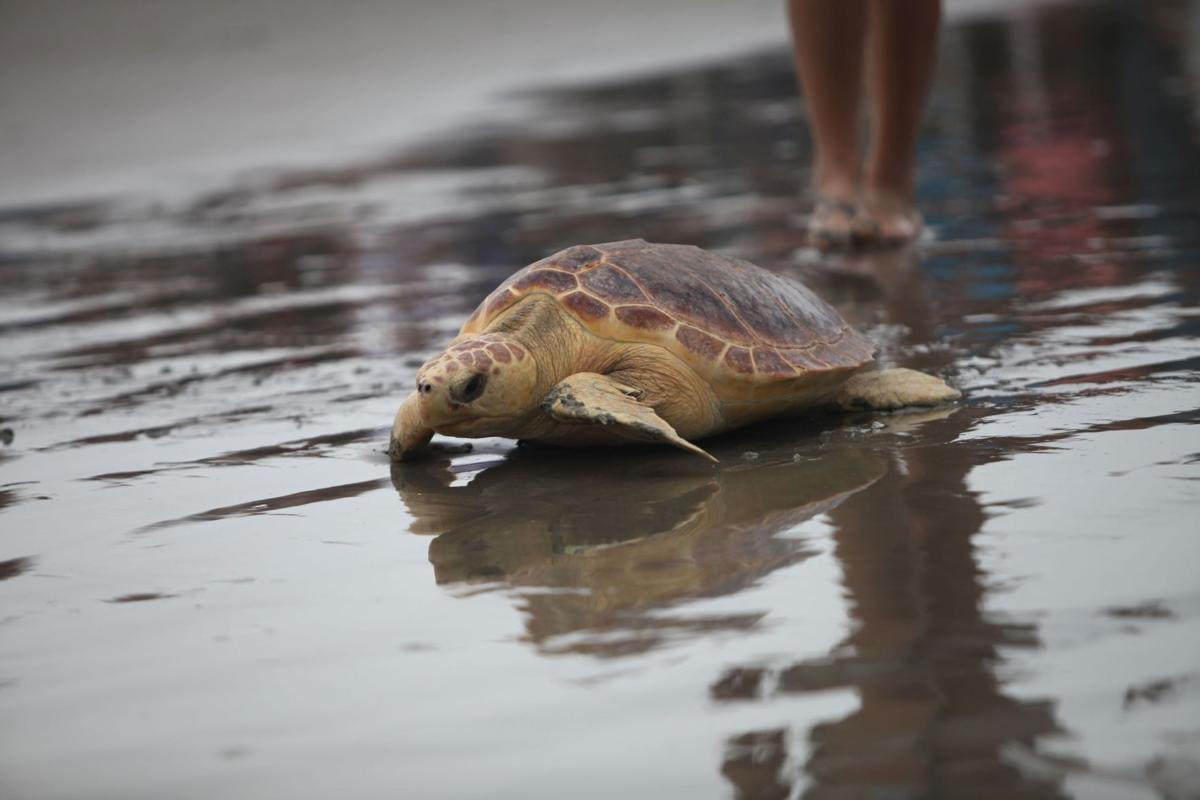 South Carolina Aquarium releases five loggerheads