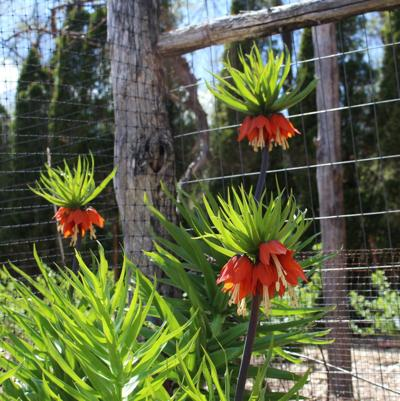 Crown imperial can add majesty to a garden