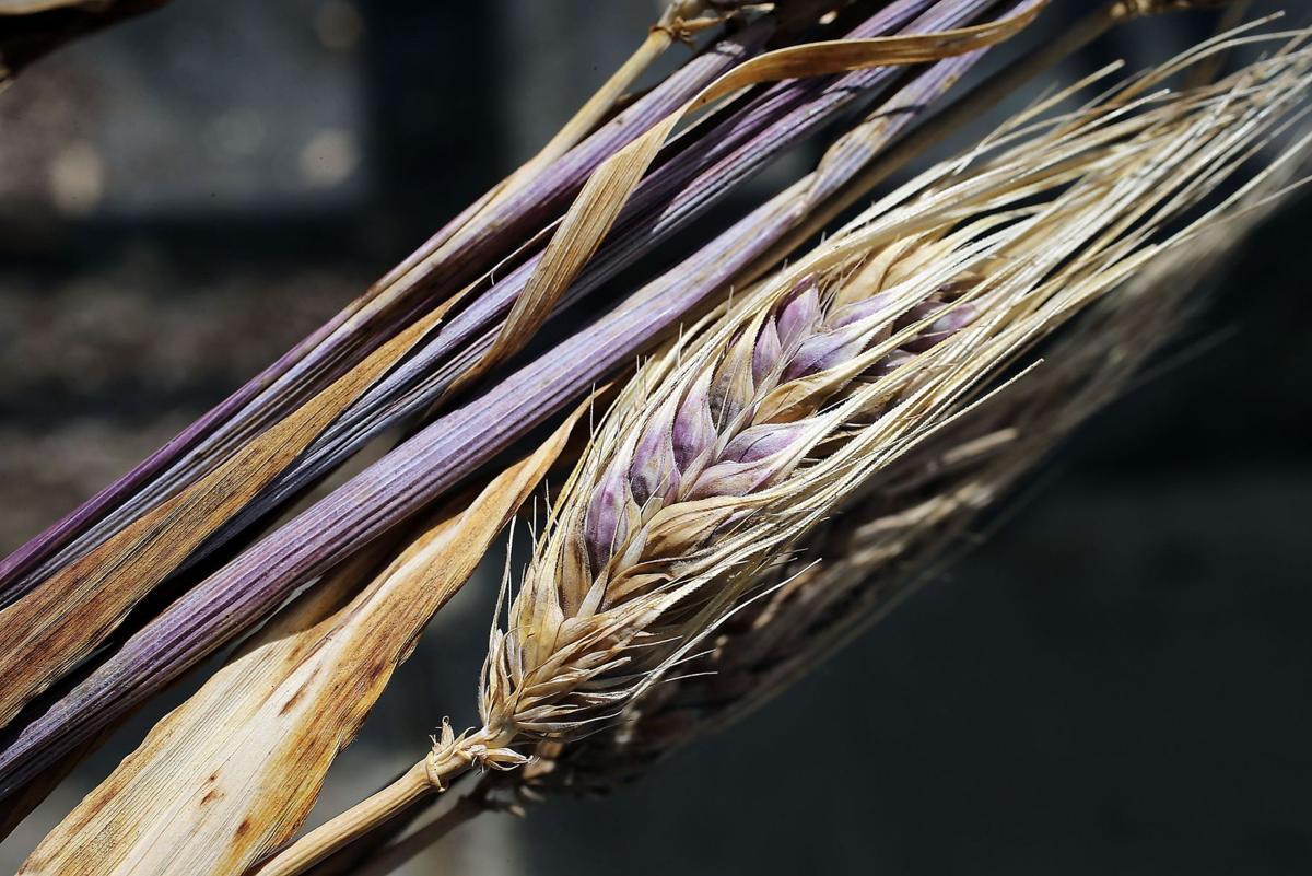 Slow Food welcomes purple straw wheat aboard Ark of Taste
