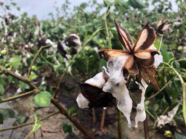 Florence cotton