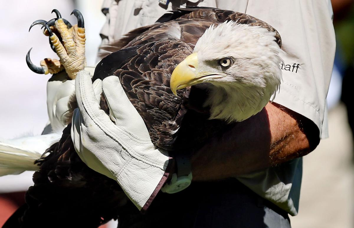 Eagles found with marine pollutants