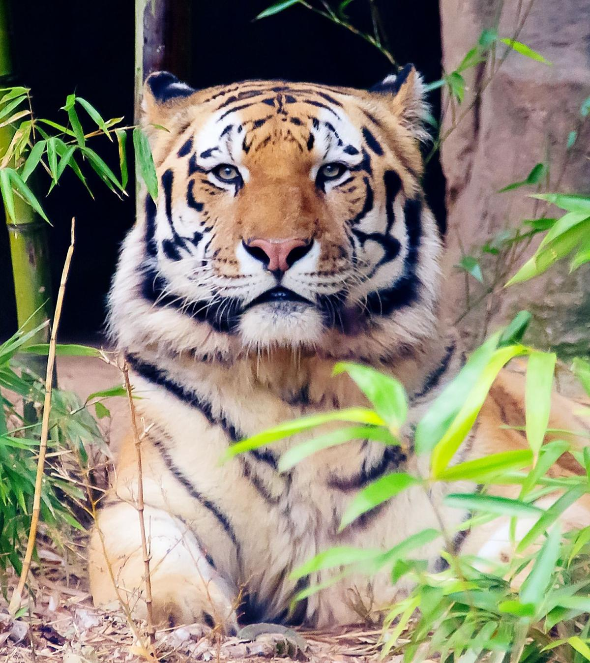 Tigers wild save tigers? multi-college new A Clemson  Can